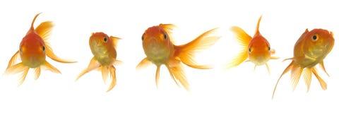 złota rybka lokking Zdjęcie Stock
