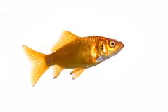 złota rybka odizolowane w white Obraz Stock