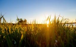 Złota trawa Obrazy Royalty Free