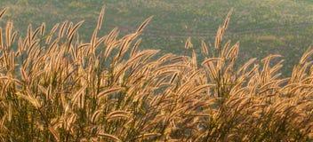 Złota trawa w górze Obrazy Royalty Free