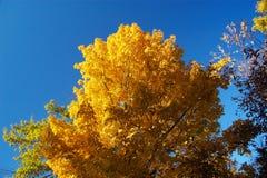 złote drzewo Fotografia Royalty Free