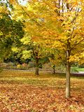 złote drzewo jesieni Zdjęcie Royalty Free