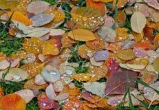 Złote warstwy spadek w trawie z deszczem Fotografia Stock