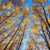 Złotej jesieni lasowi drzewa i niebieskie niebo Fotografia Royalty Free