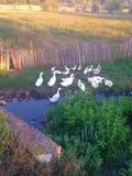Złotko kaczki Obraz Royalty Free