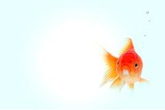 złoto ryb Zdjęcie Royalty Free