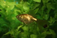 złoto ryb Obraz Stock