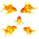 Złoto ryba Obrazy Stock