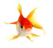 Złoto ryba Zdjęcie Royalty Free