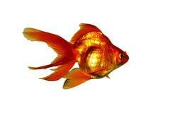 Złoto ryba Zdjęcia Royalty Free