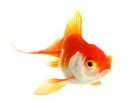 Złoto ryba. Odosobnienie na bielu Zdjęcie Stock