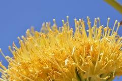Złoty agawa kwiat przeciw niebieskiemu niebu Obraz Stock