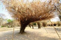 złoty bambus Fotografia Stock