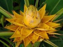 Złoty bananowy kwiat Obrazy Royalty Free