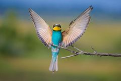 Złoty bee-eater5 Fotografia Stock
