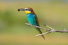 Złoty bee-eater7 Obrazy Royalty Free