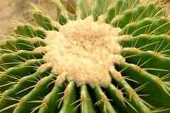 Złoty berrel kaktus Obrazy Royalty Free