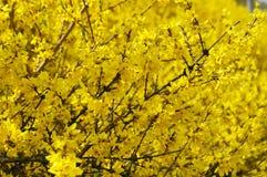 złoty deszcz Fotografia Stock
