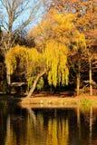 Złoty drzewo Zdjęcia Royalty Free