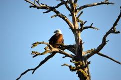 Złoty Eagle Zdjęcie Royalty Free