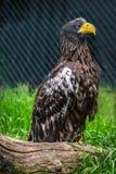 Złoty Eagle przy zoo Fotografia Royalty Free