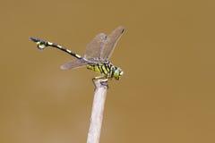 Złoty Flangetail - portret dragonfly Obraz Royalty Free