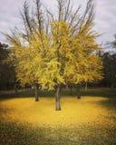 Złoty Ginkgo dywan Obrazy Stock