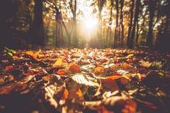 Złoty jesieni ulistnienie Zdjęcie Royalty Free
