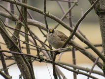 złoty koronowany sparrow Fotografia Royalty Free