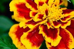 Złoty kwiat w kwiacie Fotografia Stock