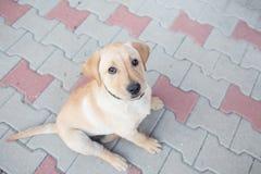 Złoty labradora szczeniak Zdjęcia Royalty Free