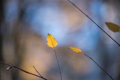 Złoty Leavs w spadku Naturalnym tle Fotografia Stock