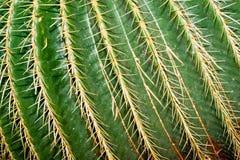 złoty lufowy kaktus Zdjęcia Royalty Free