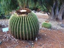 Złoty Lufowy kaktus przy Koko krateru ogródem botanicznym, Oahu, Hawaje Zdjęcie Stock