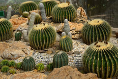 Złoty Lufowy kaktus w Kaktusowym ogródzie Fotografia Stock