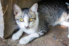 złoty oko kot Fotografia Stock