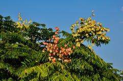 złoty podeszczowy drzewo Obrazy Royalty Free