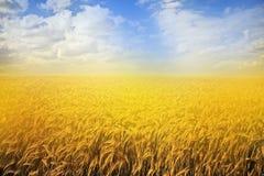 złoty pola lato Zdjęcia Royalty Free