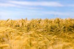 złoty, pole kukurydzy Obrazy Stock