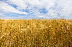 złoty, pole kukurydzy Obrazy Royalty Free