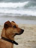 złoty psa Obrazy Stock