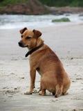 złoty psa Obrazy Royalty Free