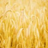Złoty pszeniczny pole Zdjęcie Royalty Free
