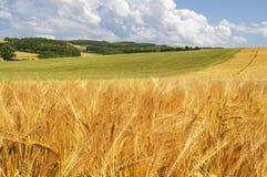 Złoty pszeniczny pole na pogodnym letnim dniu Fotografia Royalty Free