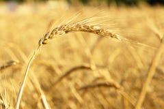 Złoty pszeniczny ucho pole Obrazy Royalty Free
