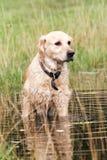 Złoty retriver polowanie w wodzie Obraz Royalty Free