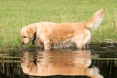 Złoty retriver pozuje w wodzie fotografia royalty free