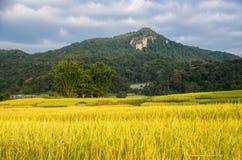 Złoty ricefield Obrazy Stock