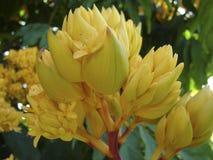Złoty Saraca w kwiacie Zdjęcia Royalty Free