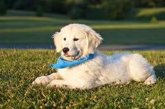 Złoty szczeniaka Aporter Zdjęcia Royalty Free